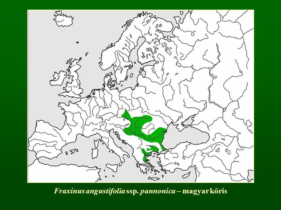 Fraxinus angustifolia ssp. pannonica – magyar kőris