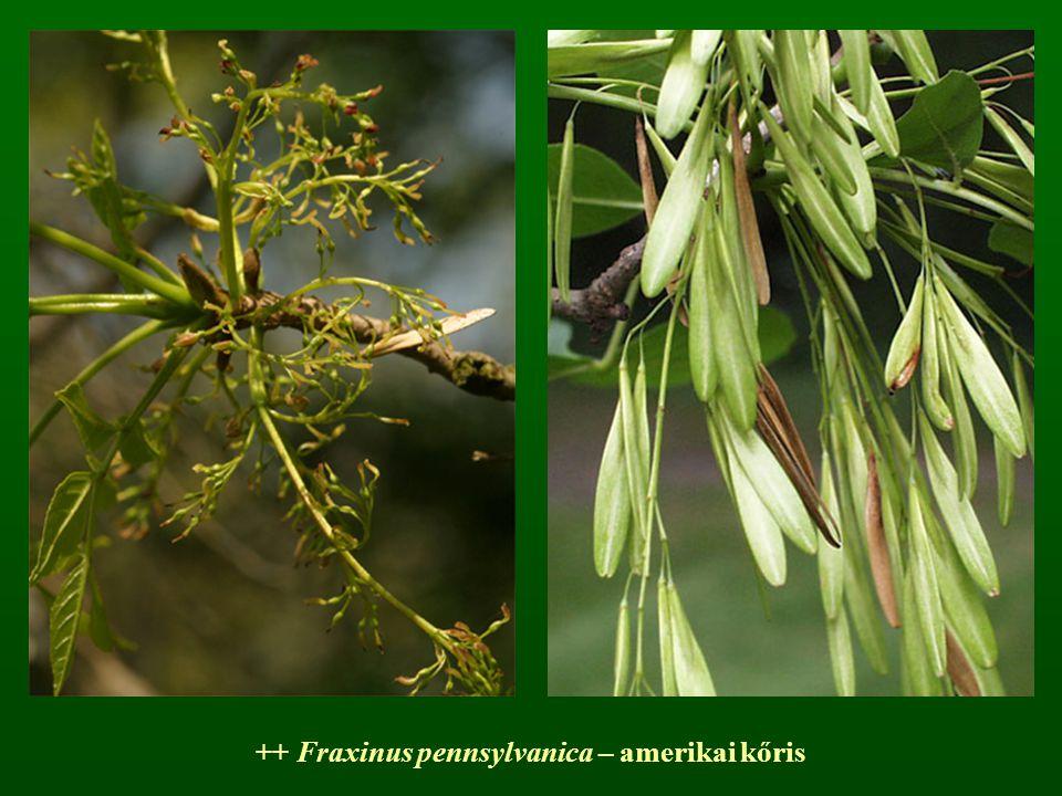 ++ Fraxinus pennsylvanica – amerikai kőris