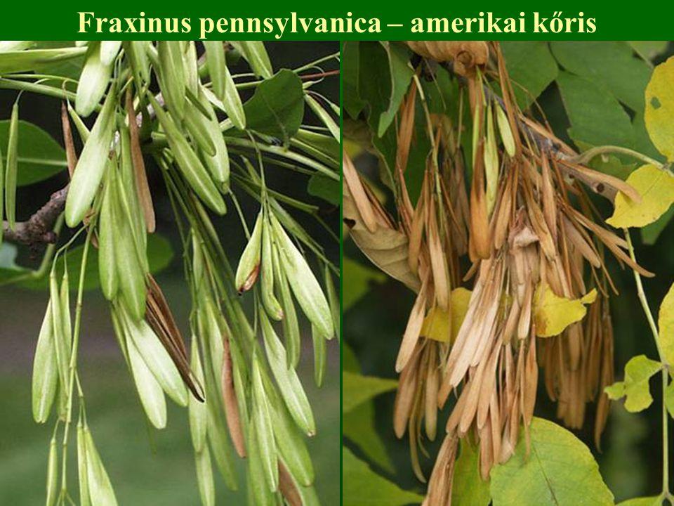 Fraxinus pennsylvanica – amerikai kőris