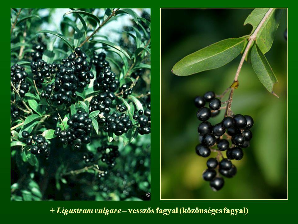 + Ligustrum vulgare – vesszős fagyal (közönséges fagyal)