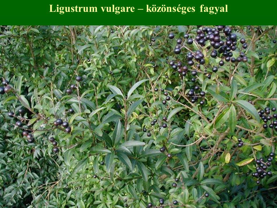Ligustrum vulgare – közönséges fagyal