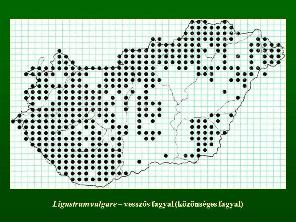 Ligustrum vulgare – vesszős fagyal (közönséges fagyal)