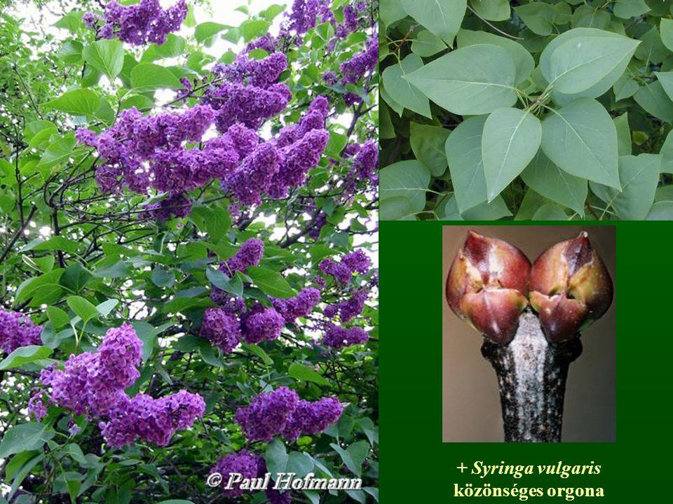 + Syringa vulgaris közönséges orgona