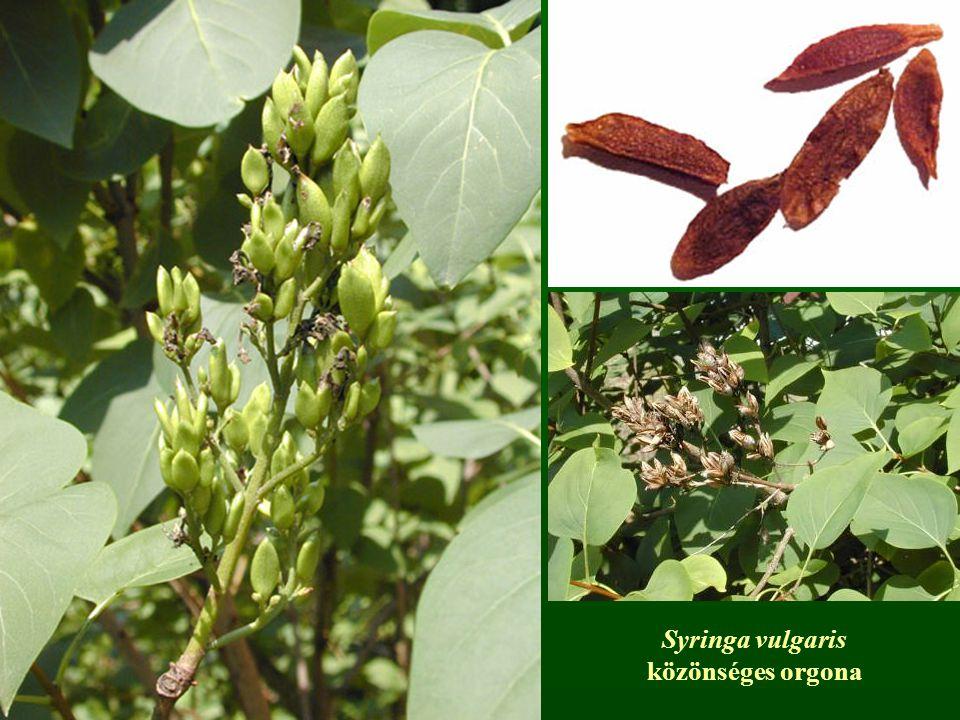 Syringa vulgaris közönséges orgona