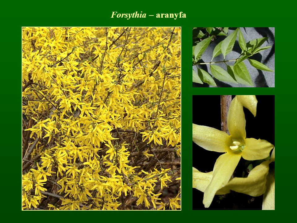 Forsythia – aranyfa