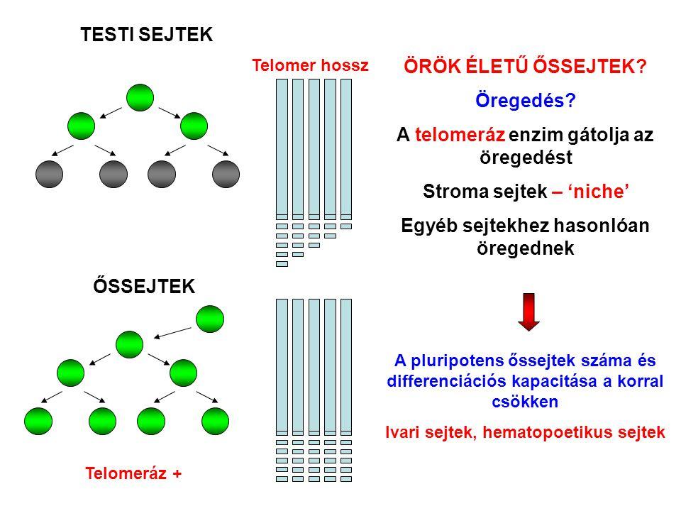 A telomeráz enzim gátolja az öregedést