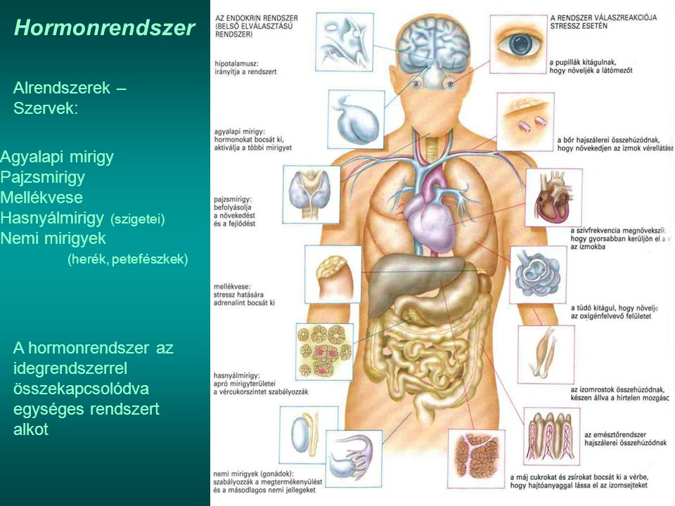 Hormonrendszer Alrendszerek – Szervek: Agyalapi mirigy Pajzsmirigy