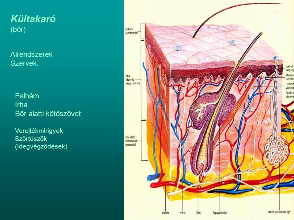 Kültakaró (bőr) Alrendszerek – Szervek: Felhám Irha