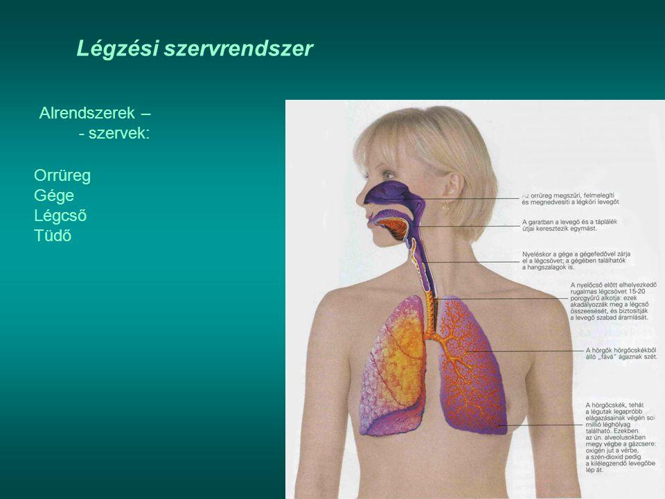 Légzési szervrendszer