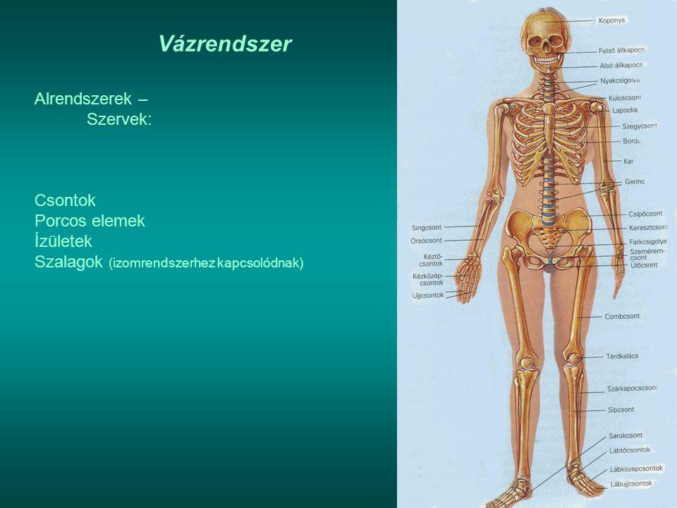 Vázrendszer Alrendszerek – Szervek: Csontok Porcos elemek Ízületek