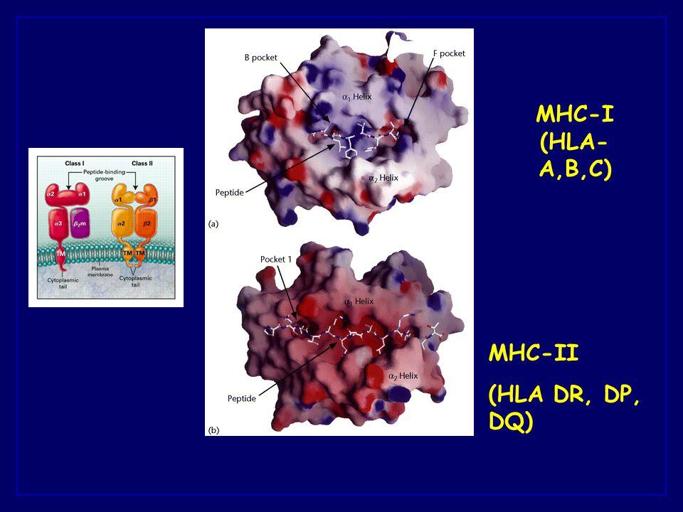 MHC-I (HLA-A,B,C) MHC-II (HLA DR, DP, DQ)