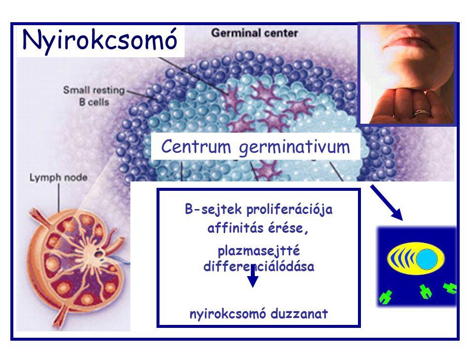 B-sejtek proliferációja plazmasejtté differenciálódása