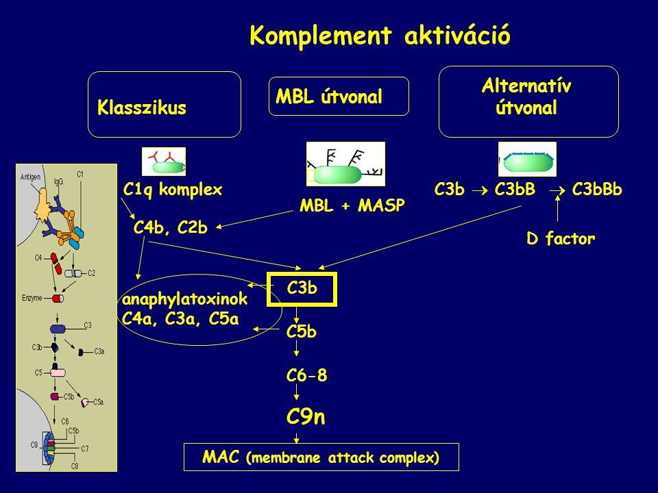 MAC (membrane attack complex)
