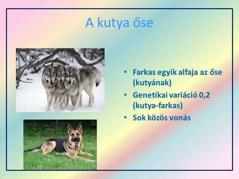 A kutya őse Farkas egyik alfaja az őse (kutyának)