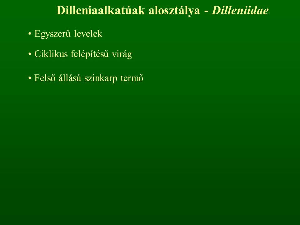 Dilleniaalkatúak alosztálya - Dilleniidae