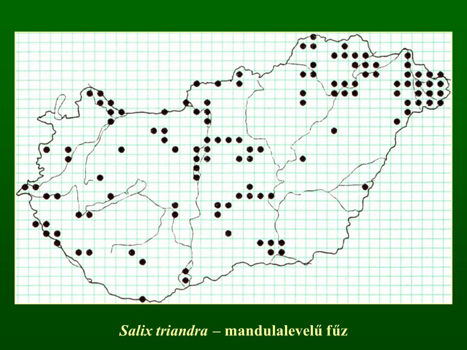Salix triandra – mandulalevelű fűz