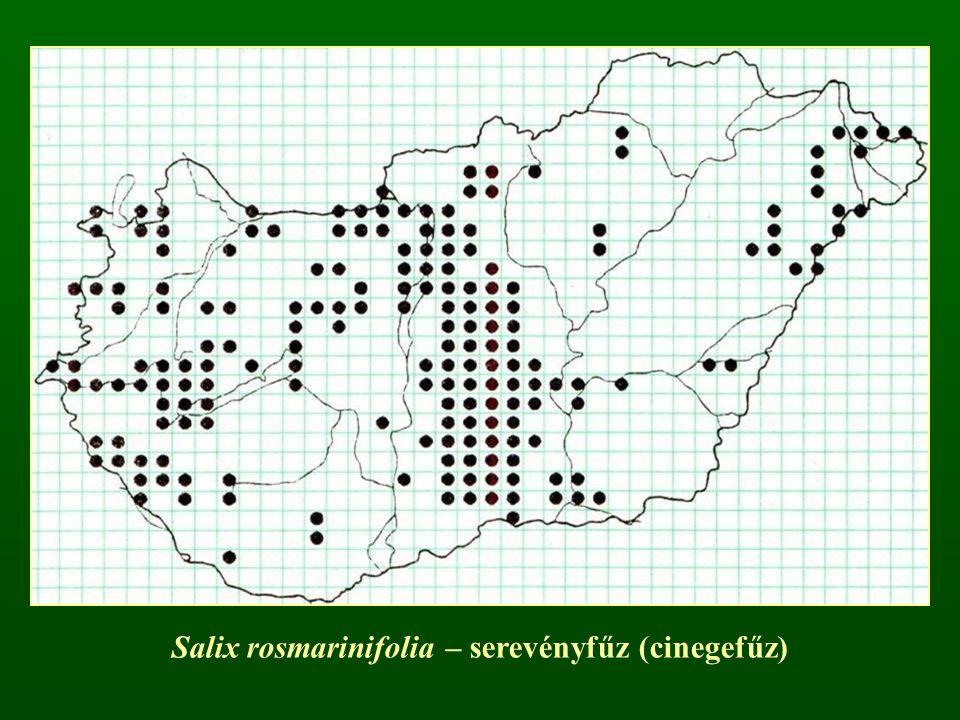 Salix rosmarinifolia – serevényfűz (cinegefűz)