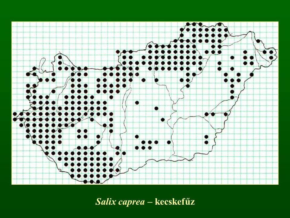Salix caprea – kecskefűz
