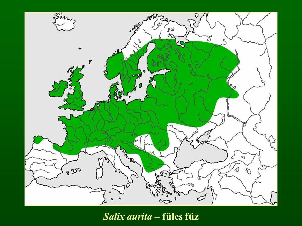 Salix aurita – füles fűz