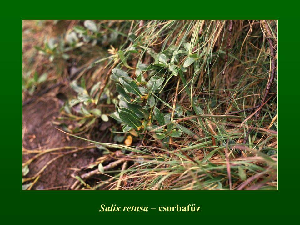 Salix retusa – csorbafűz