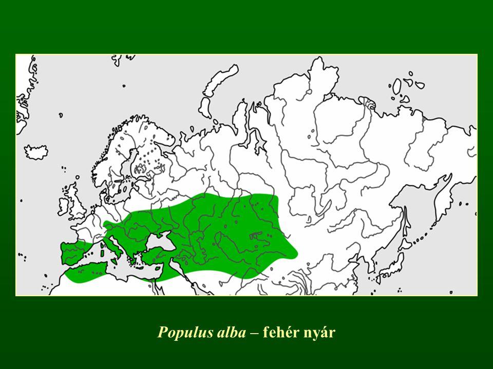 Populus alba – fehér nyár