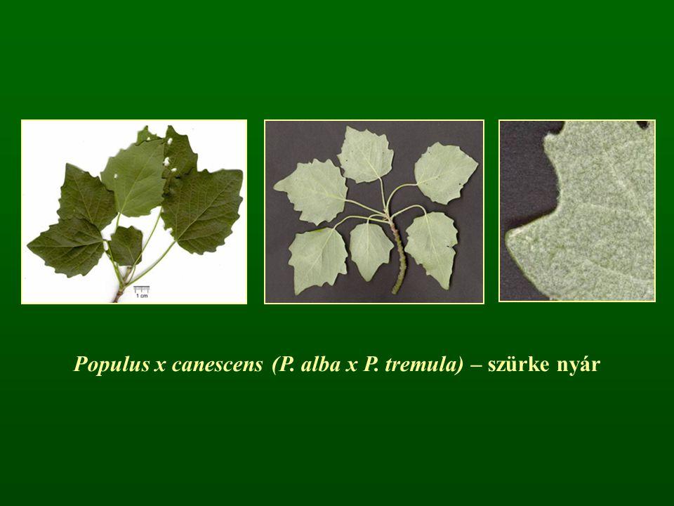 Populus x canescens (P. alba x P. tremula) – szürke nyár
