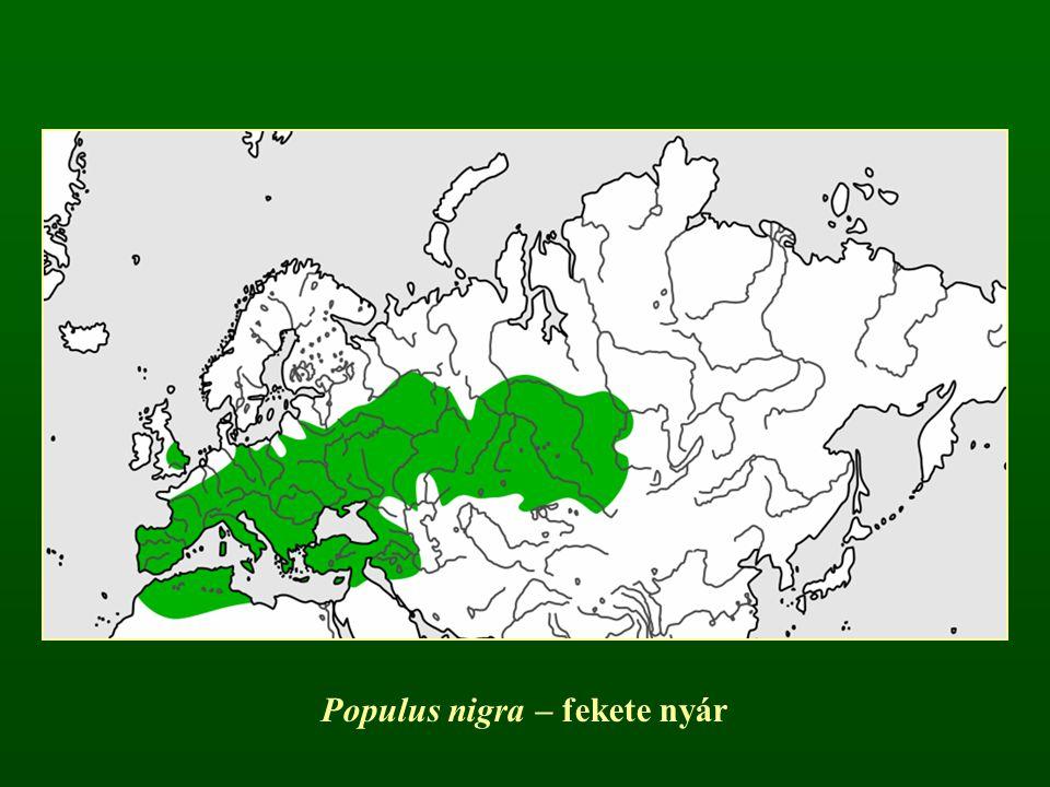 Populus nigra – fekete nyár