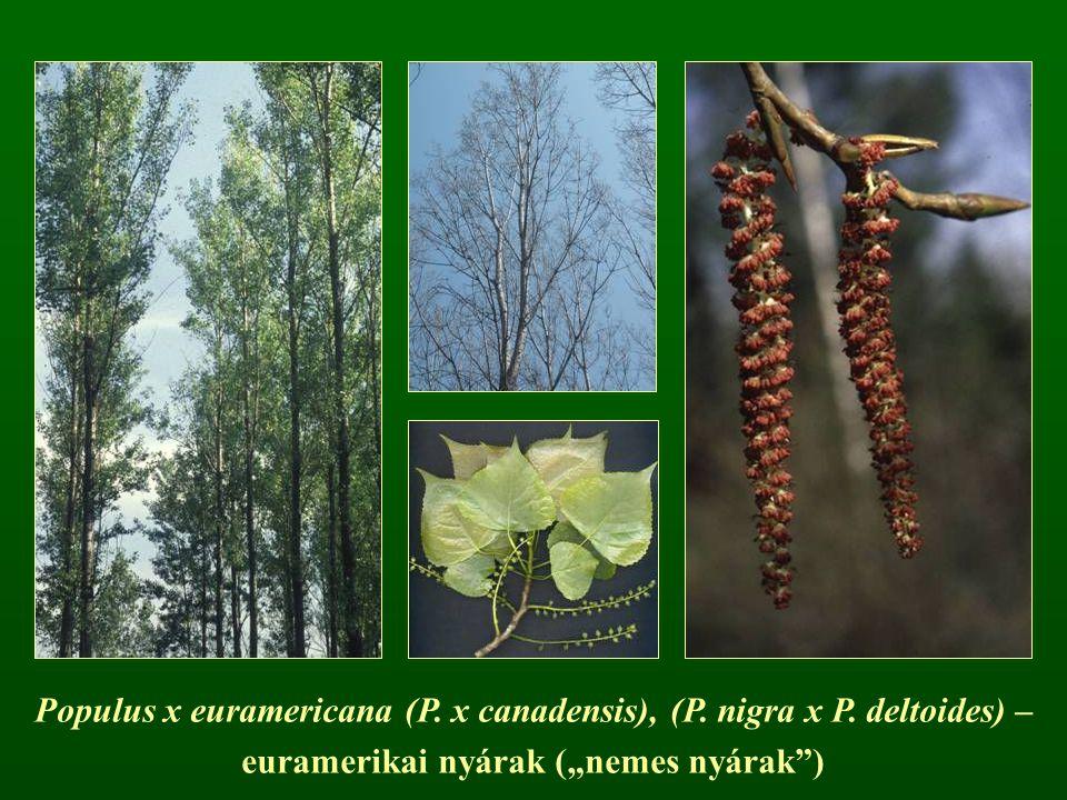 Populus x euramericana (P. x canadensis), (P. nigra x P. deltoides) –