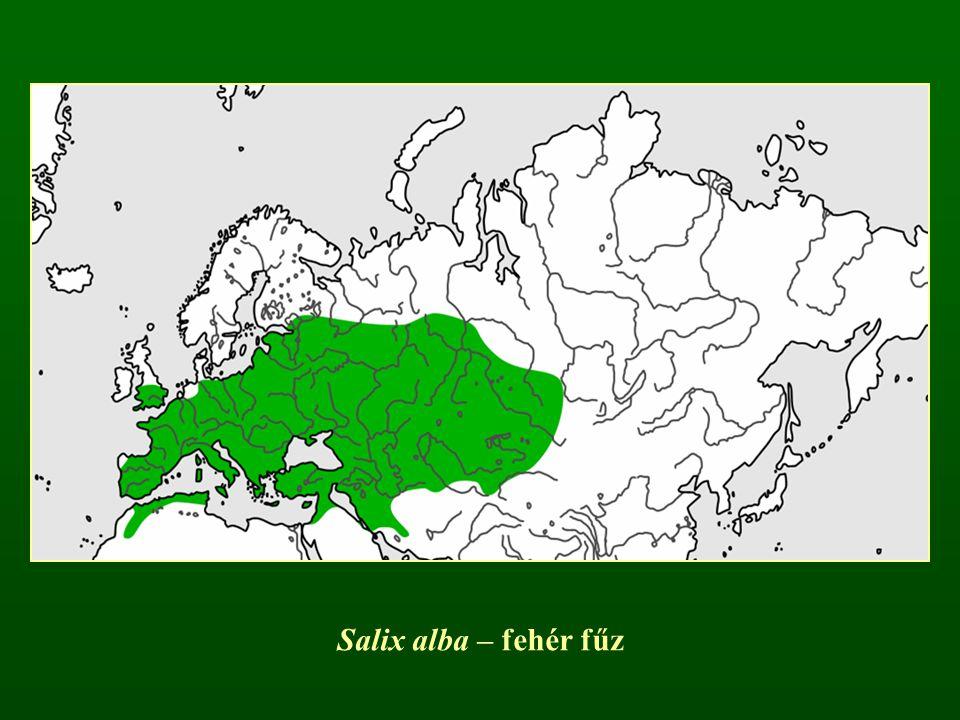 Salix alba – fehér fűz