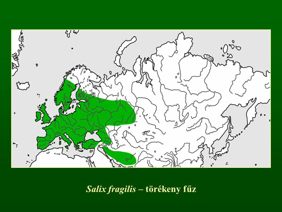 Salix fragilis – törékeny fűz
