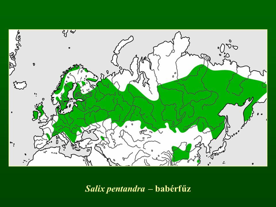 Salix pentandra – babérfűz
