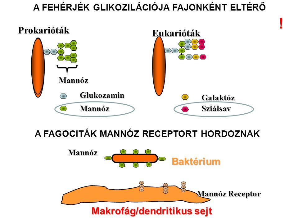 ! Prokarióták Eukarióták Baktérium Makrofág/dendritikus sejt