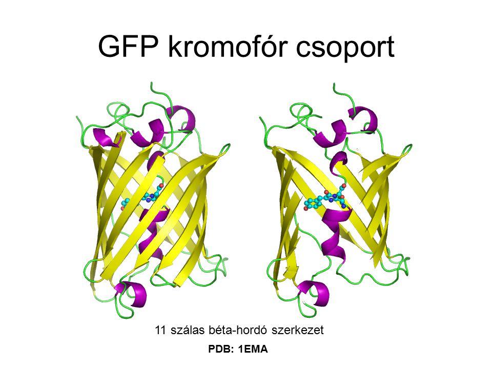 GFP kromofór csoport 11 szálas béta-hordó szerkezet PDB: 1EMA