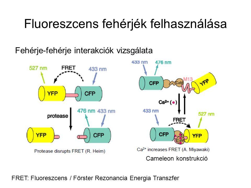 Fluoreszcens fehérjék felhasználása
