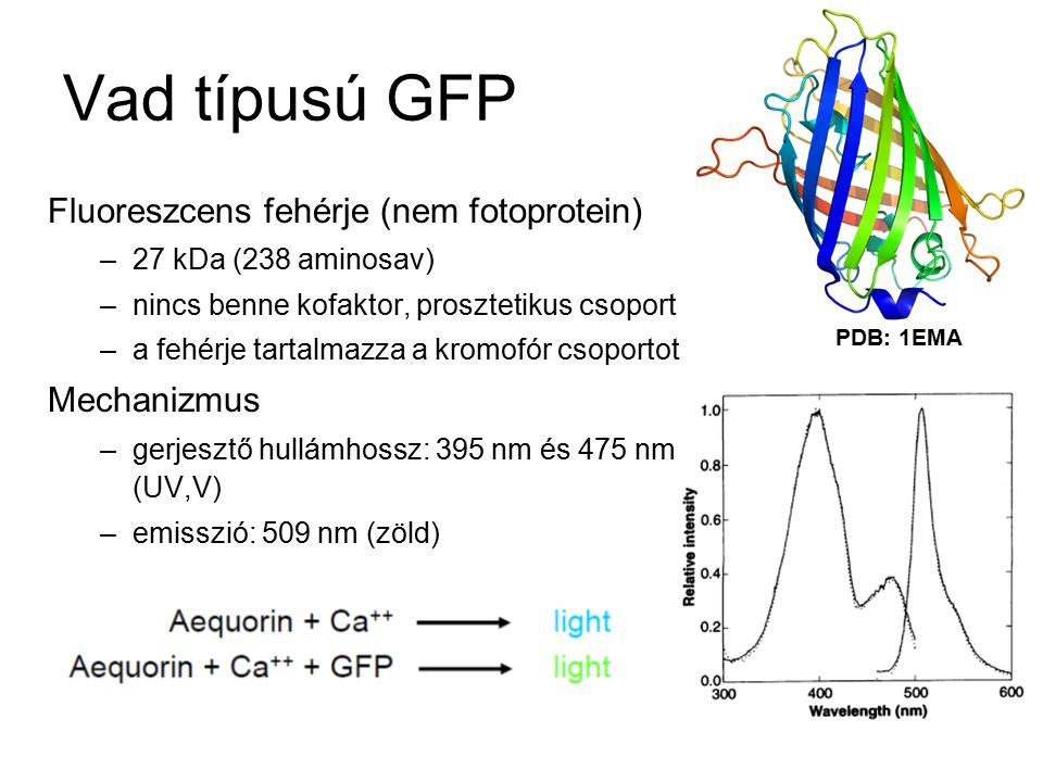 Vad típusú GFP Fluoreszcens fehérje (nem fotoprotein) Mechanizmus