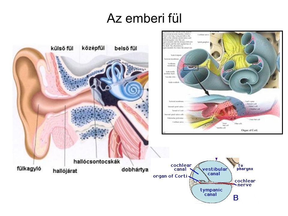 Az emberi fül