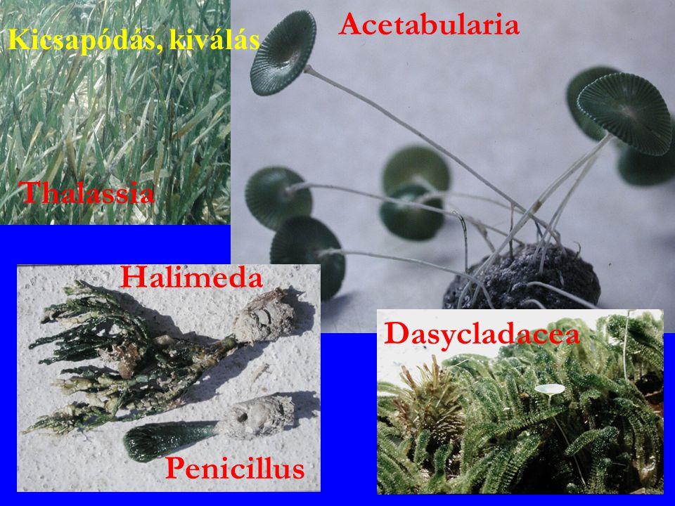 Acetabularia Thalassia Halimeda Dasycladacea Penicillus