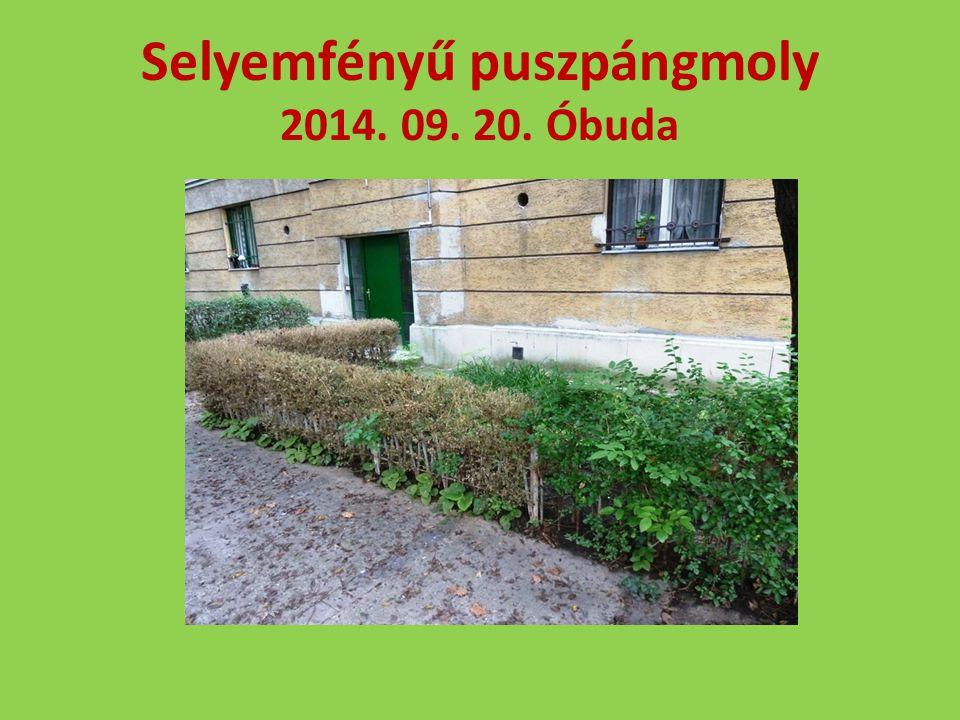 Selyemfényű puszpángmoly 2014. 09. 20. Óbuda