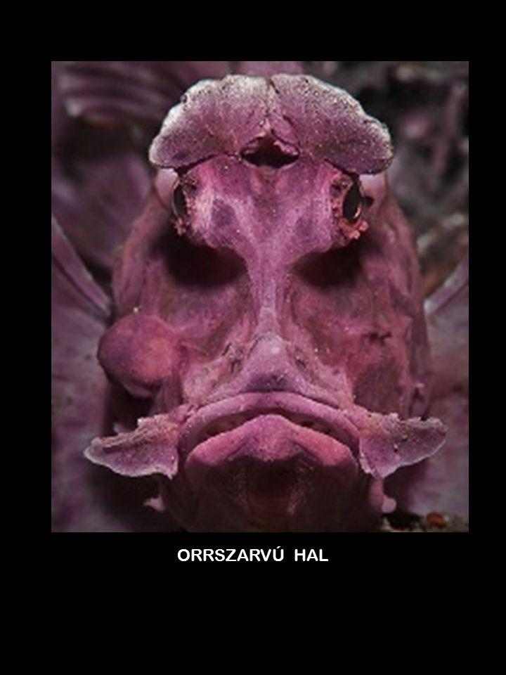 ORRSZARVÚ HAL