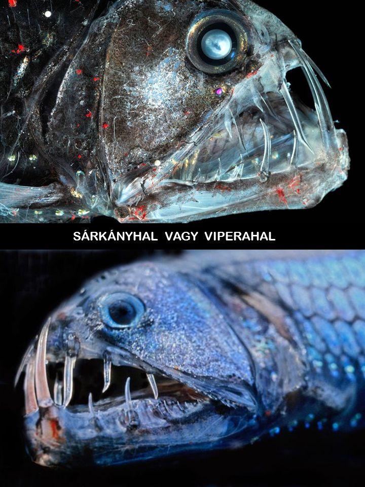 SÁRKÁNYHAL VAGY VIPERAHAL