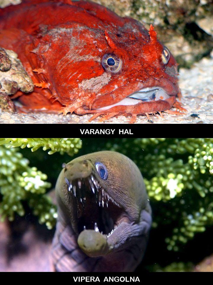 VARANGY HAL VIPERA ANGOLNA