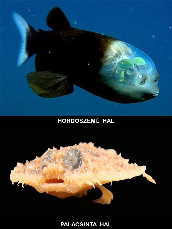 HORDÓSZEMŰ HAL PALACSINTA HAL