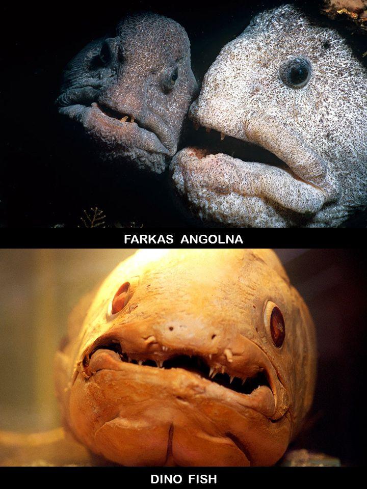 FARKAS ANGOLNA DINO FISH