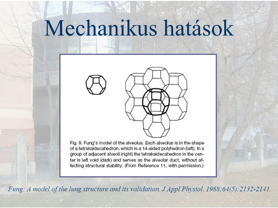 Mechanikus hatások Fung: A model of the lung structure and its validation.