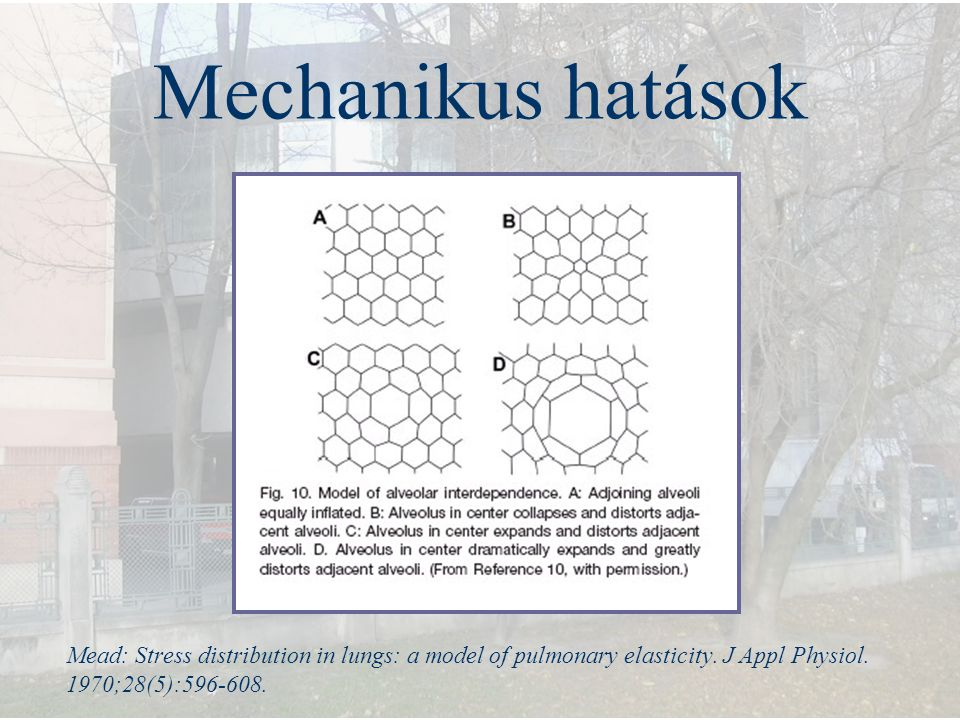 Mechanikus hatások Mead: Stress distribution in lungs: a model of pulmonary elasticity.