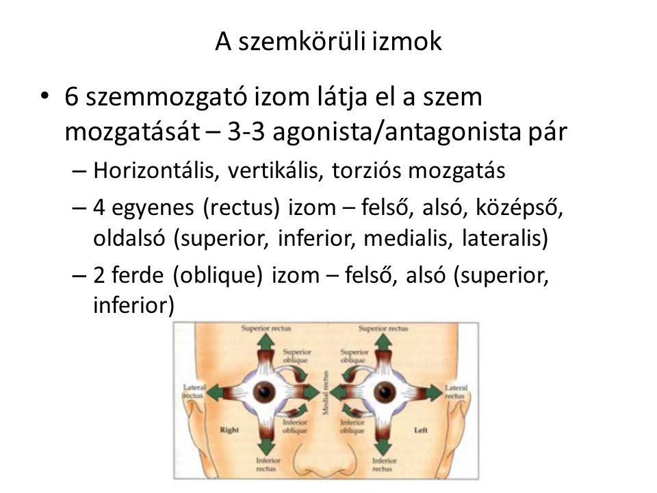 A szemkörüli izmok 6 szemmozgató izom látja el a szem mozgatását – 3-3 agonista/antagonista pár. Horizontális, vertikális, torziós mozgatás.