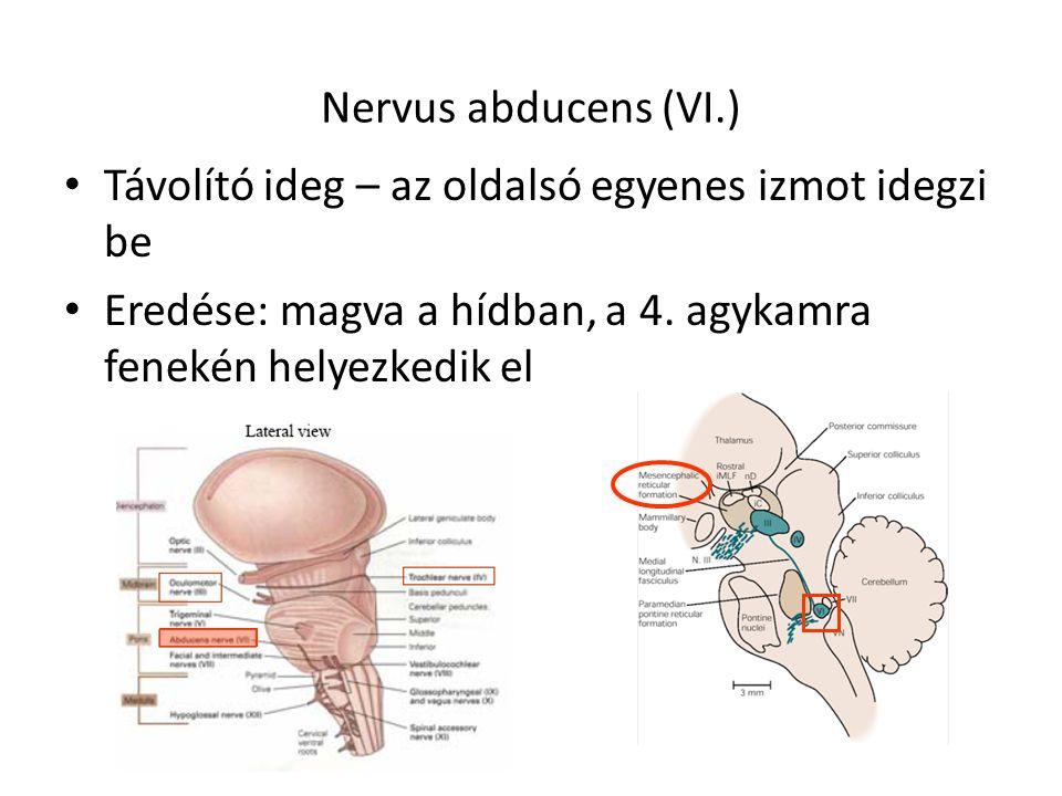 Nervus abducens (VI.) Távolító ideg – az oldalsó egyenes izmot idegzi be.