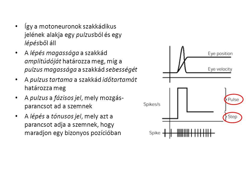 Így a motoneuronok szakkádikus jelének alakja egy pulzusból és egy lépésből áll
