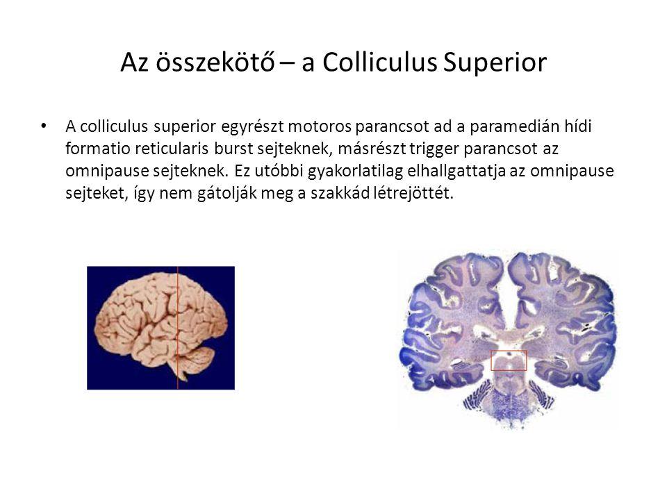 Az összekötő – a Colliculus Superior
