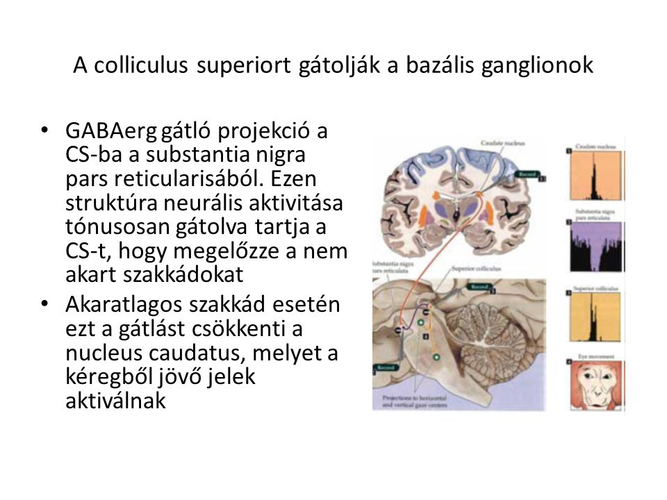 A colliculus superiort gátolják a bazális ganglionok